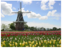 hollandtulip2