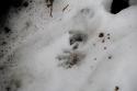 Winter Wildlife Walk, animal print in the snow