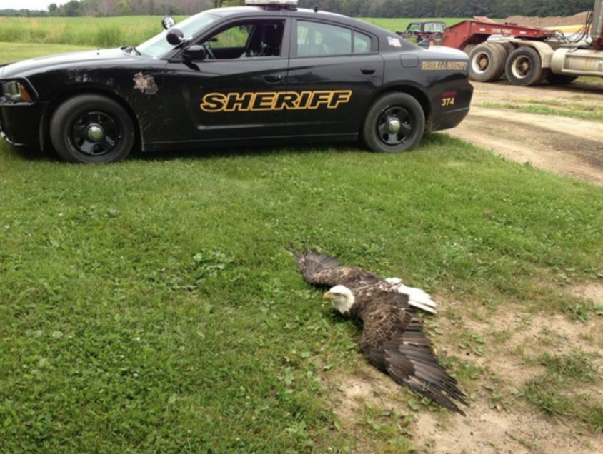 sheriff's car with injured bald eagle